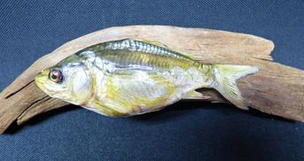 Adrian Johnstone, professional Taxidermist since 1981. Supplier to private collectors, schools, museums, businesses, and the entertainment world. Taxidermy is highly collectable. A taxidermy stuffed young Mirror Carp (24), in excellent condition.