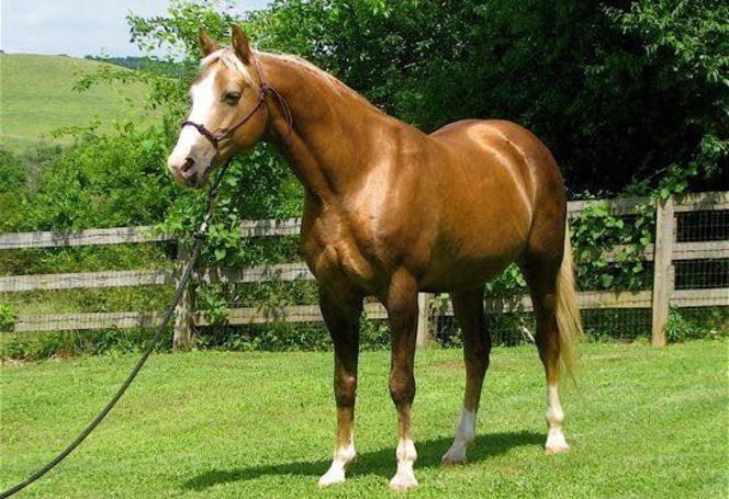 Danney Joe's Golden Shadow Pedigree