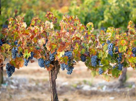 Grape vine with grape clusters and fall leaves
