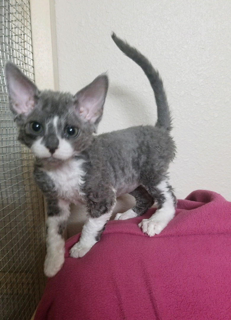Snake River Rexes - Cats and Kittens, Devon Rex Cat, Devon Rex