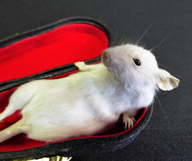 Adrian Johnstone, professional Taxidermist since 1981. Supplier to private collectors, schools, museums, businesses, and the entertainment world. Taxidermy is highly collectable. A taxidermy stuffed Mouse In Violin Case (6), in excellent condition.