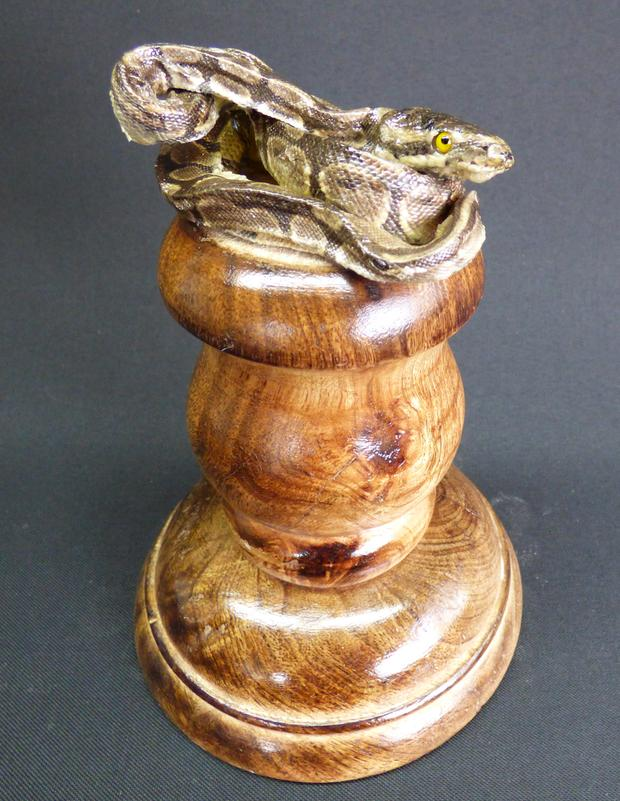 Adrian Johnstone, professional Taxidermist since 1981. Supplier to private collectors, schools, museums, businesses, and the entertainment world. Taxidermy is highly collectible. A taxidermy stuffed Python on Pedestal (6), in excellent condition.