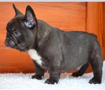 French Bulldog Puppies For Sale Doublebarrel Kennels