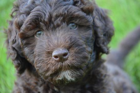 Barbet Puppies Available