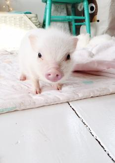 Cute Mini Pet Pigs