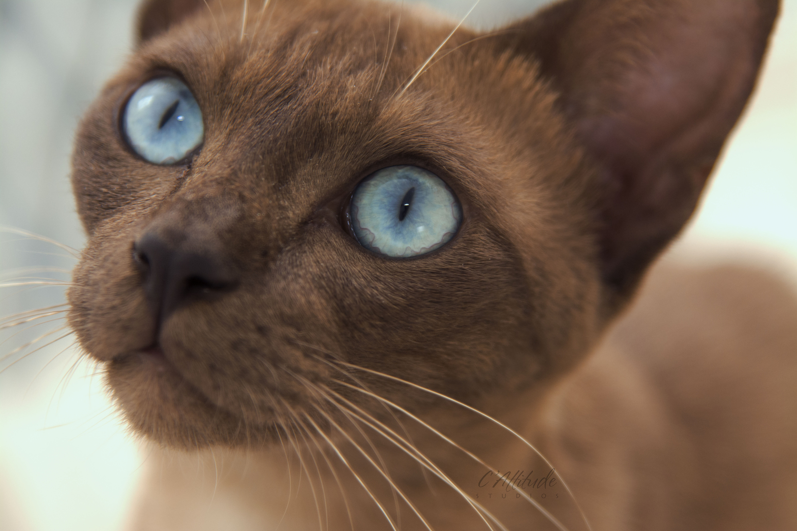 Burmese Siamese Tonkinese Cats Indian Spring Cats