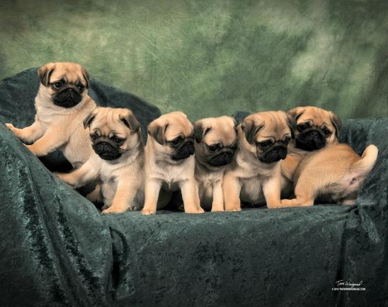 Kelz Pugz Pug Puppies For Sale Pug Stud Service Black Pug Puppies