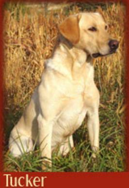 Hunters Upland Mavericks pedigree