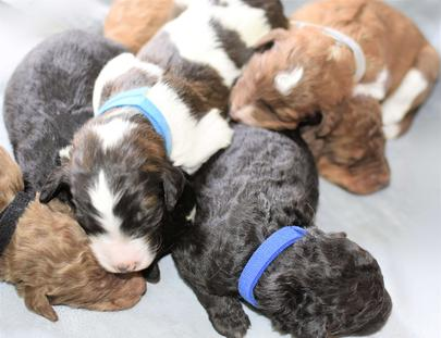 F1b Aussiedoodle puppies Northwestaussiedoodles.com
