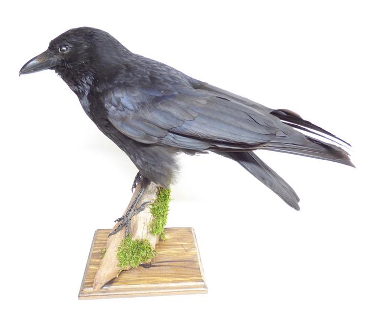 Adrian Johnstone, professional Taxidermist since 1981. Supplier to private collectors, schools, museums, businesses, and the entertainment world. Taxidermy is highly collectable. A taxidermy stuffed Carrion Crow (9824), in excellent condition.