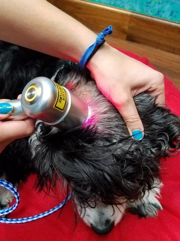 Dog Receiving Laser Treatment