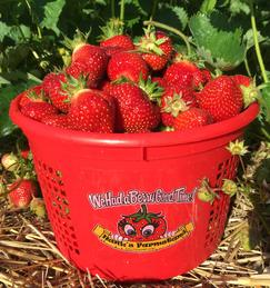 Pail of Strawberries