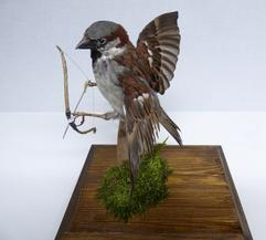 Adrian Johnstone, Professional Taxidermist since 1981. Supplier to private collectors, schools, museums, businesses and the entertainment world. Taxidermy is highly collectable. A taxidermy stuffed Sparrow With A Bow And Arrow (9109), in excellent condition.