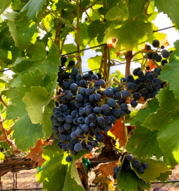 cabernet sauvignon; grape cluster