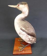 Adrian Johnstone, professional Taxidermist since 1981. Supplier to private collectors, schools, museums, businesses, and the entertainment world. Taxidermy is highly collectable. A taxidermy stuffed adult Great Crested Grebe (9481), in excellent condition.