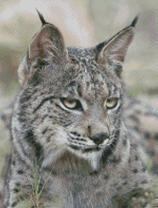 Cross Stitch Chart Pattern of a Lynx