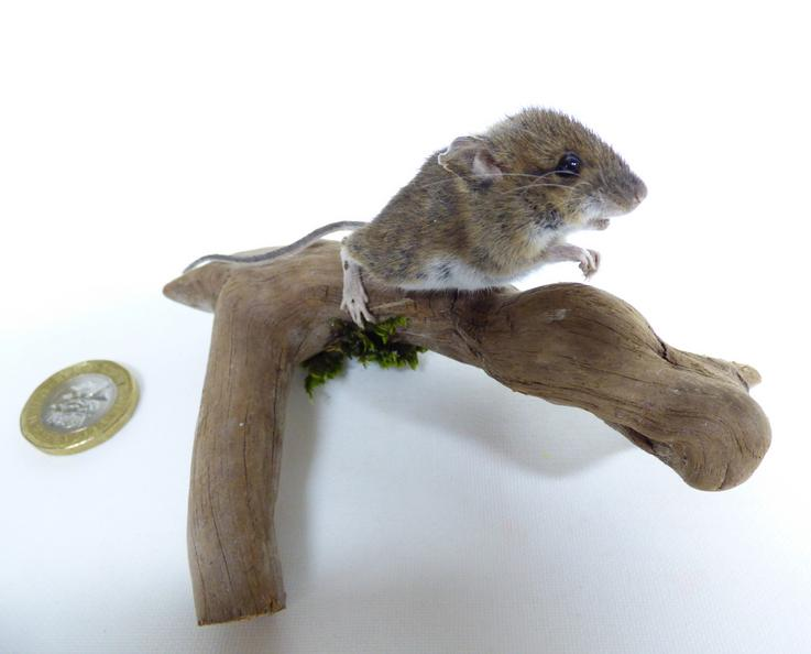 Adrian Johnstone, professional Taxidermist since 1981. Supplier to private collectors, schools, museums, businesses, and the entertainment world. Taxidermy is highly collectable. A taxidermy stuffed Field Mouse (log no:576), in excellent condition. Mobile: 07745 399515 Email: adrianjohnstone@btinternet.com