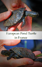 Turtles-in-france