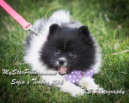 Sable Pomeranian Puppy