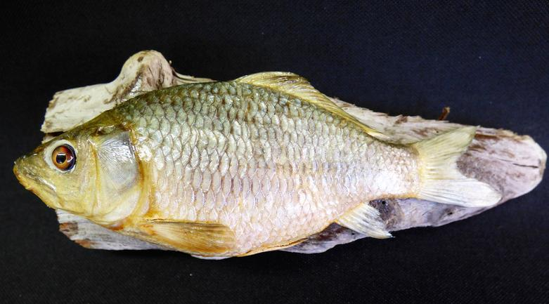 Adrian Johnstone, professional Taxidermist since 1981. Supplier to private collectors, schools, museums, businesses, and the entertainment world. Taxidermy is highly collectable. A taxidermy stuffed young Common Carp (26), in excellent condition.