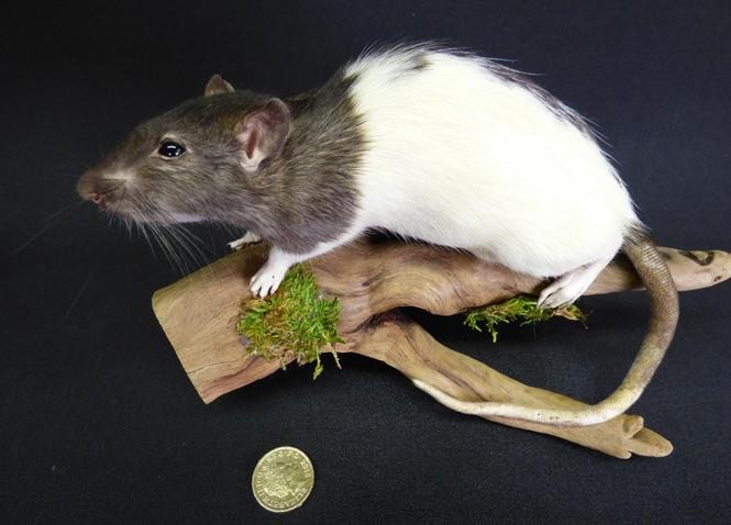 Adrian Johnstone, Professional Taxidermist since 1981. Supplier to private collectors, schools, museums, businesses and the entertainment world. Taxidermy is highly collectable. A taxidermy stuffed Grey And White Rat (25) in excellent condition.