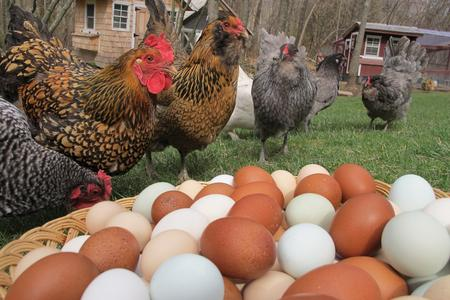 Backyard Chickens producing your own eggs