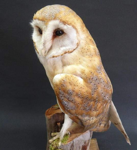 Adrian Johnstone, professional Taxidermist since 1981. Supplier to private collectors, schools, museums, businesses, and the entertainment world. Taxidermy is highly collectible. A taxidermy stuffed Barn Owl (9754), in excellent condition.