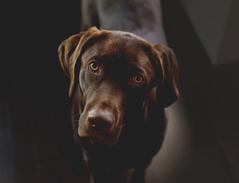 Chocolate Labrador Retriever Finnegan