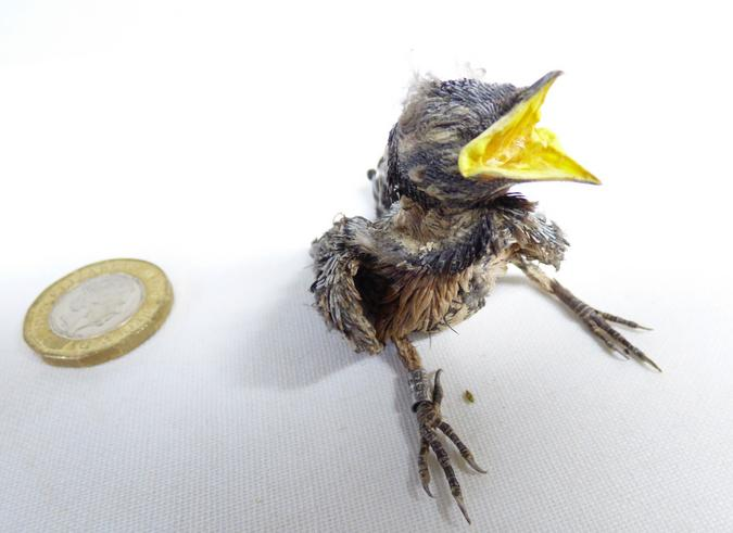 Adrian Johnstone, professional Taxidermist since 1981. Supplier to private collectors, schools, museums, businesses, and the entertainment world. Taxidermy is highly collectable. A taxidermy stuffed Chaffich Chick (34), in excellent condition. Mobile: 07745 399515 Email: adrianjohnstone@btinternet.com