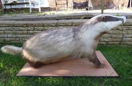Adrian Johnstone, Professional Taxidermist since 1981. Supplier to private collectors, schools, museums, businesses and the entertainment world. Taxidermy is highly collectable. A taxidermy stuffed free standing adult Badger (398), in excellent condition.