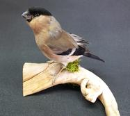 Adrian Johnstone, professional Taxidermist since 1981. Supplier to private collectors, schools, museums, businesses, and the entertainment world. Taxidermy is highly collectable. A taxidermy stuffed adult female Bullfinch (58), in excellent condition.