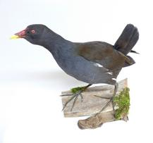 Adrian Johnstone, professional Taxidermist since 1981. Supplier to private collectors, schools, museums, businesses, and the entertainment world. Taxidermy is highly collectable. A taxidermy stuffed adult Moorhen (9344), in excellent condition.