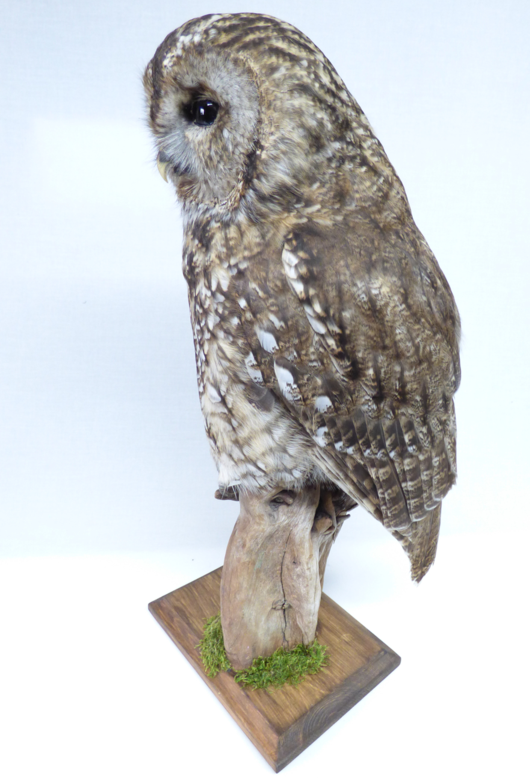 Adrian Johnstone, Professional Taxidermist since 1981. Supplier to private collectors, schools, museums, businesses and the entertainment world. Taxidermy is highly collectable. A taxidermy stuffed Tawny Owl (9828), in excellent condition.