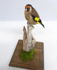 Adrian Johnstone, professional Taxidermist since 1981. Supplier to private collectors, schools, museums, businesses, and the entertainment world. Taxidermy is highly collectable. A taxidermy stuffed Goldfinch (9946), in excellent condition. Mobile: 07745 399515 Email: adrianjohnstone@btinternet.com