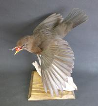 Adrian Johnstone, professional Taxidermist since 1981. Supplier to private collectors, schools, museums, businesses, and the entertainment world. Taxidermy is highly collectible. A taxidermy stuffed adult Blackbird (9679), in excellent condition.