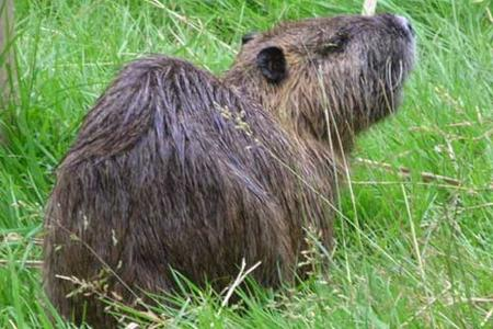 Coypu-Ragondin-in-France