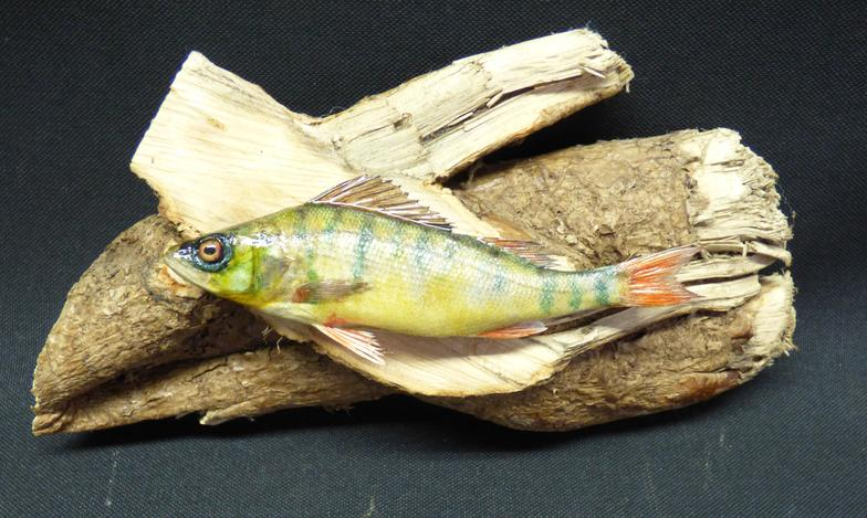 Adrian Johnstone, Professional Taxidermist since 1981. Supplier to private collectors, schools, museums, businesses and the entertainment world. Taxidermy is highly collectable. A taxidermy stuffed Perch (11), in excellent condition.