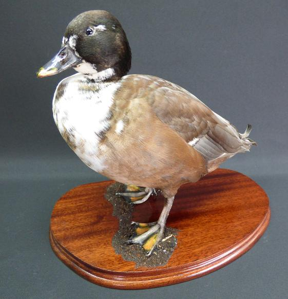 Adrian Johnstone, professional Taxidermist since 1981. Supplier to private collectors, schools, museums, businesses, and the entertainment world. Taxidermy is highly collectable. A taxidermy stuffed Domestic Male Duck (9327), in excellent condition.