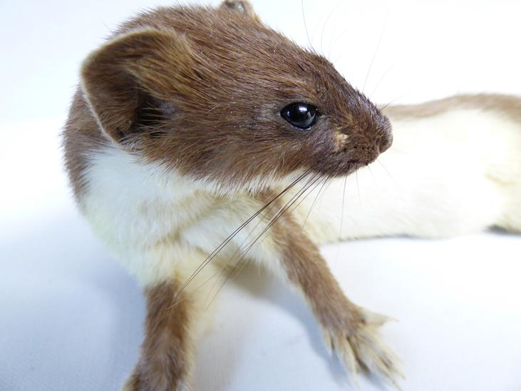 Adrian Johnstone, Professional Taxidermist since 1981. Supplier to private collectors, schools, museums, businesses and the entertainment world. Taxidermy is highly collectable. A taxidermy stuffed Stoat (88), in excellent condition.