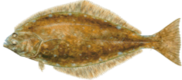 HALIBUT FLOUNDER BOTTOM FISHING HALF DAY PARTY BOAT