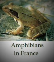 Frogs-Toads-Newts-Amphibians-in-France