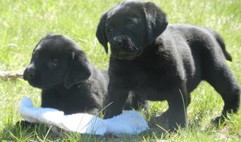 South Coast Labradors - Labrador Retriever Puppies, Lab