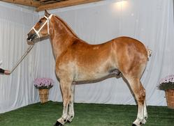 Draft Horse, Driving Horse, Pony, Buggy Horse Sales Auction