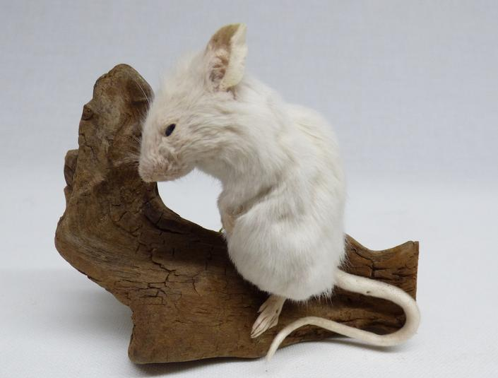 Adrian Johnstone, professional Taxidermist since 1981. Supplier to private collectors, schools, museums, businesses, and the entertainment world. Taxidermy is highly collectable. A taxidermy stuffed White Mouse (127), in excellent condition.