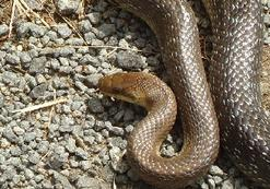 Snakes-in-France-Aesculapian-snake