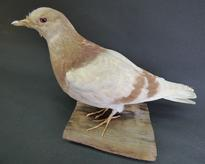Adrian Johnstone, professional Taxidermist since 1981. Supplier to private collectors, schools, museums, businesses, and the entertainment world. Taxidermy is highly collectable. A taxidermy stuffed Town Pigeon (1), in excellent condition.