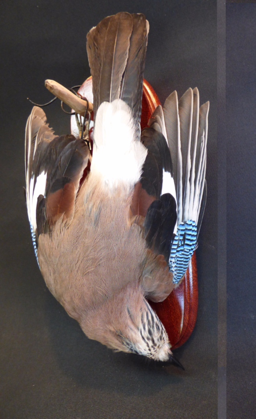 Adrian Johnstone, Professional Taxidermist since 1981. Supplier to private collectors, schools, museums, businesses and the entertainment world. Taxidermy is highly collectable. A taxidermy stuffed adult Jay (15) in excellent condition.