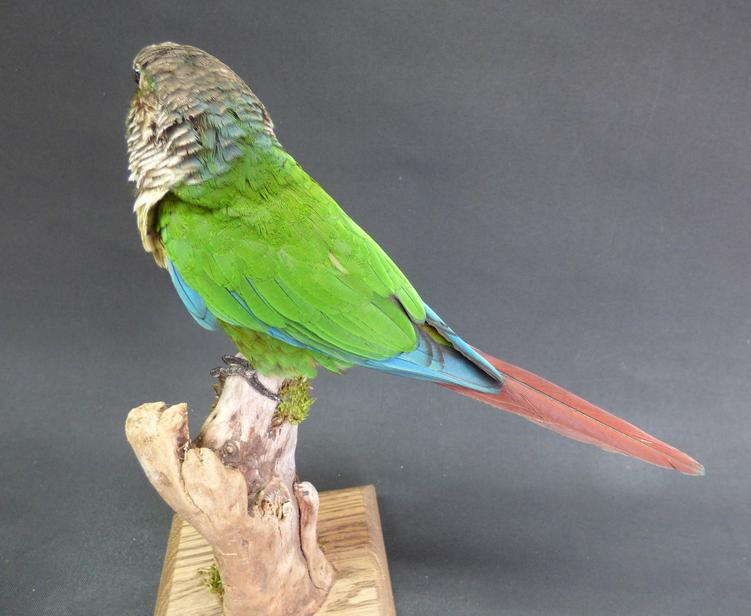 Adrian Johnstone, Professional Taxidermist since 1981. Supplier to private collectors, schools, museums, businesses and the entertainment world. Taxidermy is highly collectable. A taxidermy stuffed Green Cheeked Conure (520fb), in excellent condition.