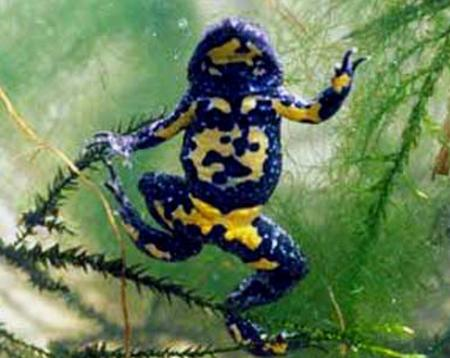 Yellow-bellied-toad-in-France