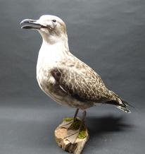 Adrian Johnstone, professional Taxidermist since 1981. Supplier to private collectors, schools, museums, businesses, and the entertainment world. Taxidermy is highly collectable. A taxidermy stuffed Lesser Black Backed Gull (1), in excellent condition.